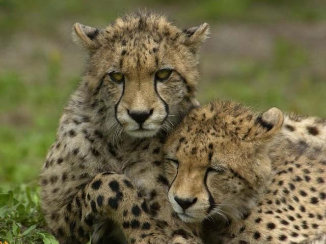 Busch Gardens dá boas-vindas ao novo bebê guepardo